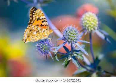 Orange butterfly on a thistle flower in summer sunny day close up.