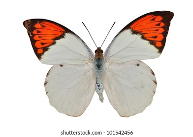 Orange butterfly (The Great Orange) isolated on white background