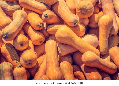 "Orange butternut squash vegetable background. Long pumpkins for cakes, pies and soups. Seasonal October Autumn pumpkins harvest for Halloween, ""Día de los Muertos"" or ""Los Santos""."