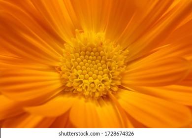 Orange calendula flower, close up macro banner. Calendula orange Flower, closeup macro.