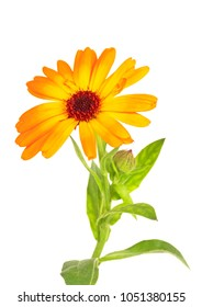 Orange calendula flower isolated on white background