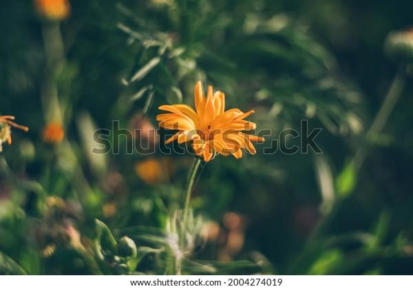 orange-calendula-flower-on-dark-600w-200
