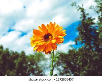 Orange calendula flowers. Blooming marigold flowers. Fresh organic calendula marigold flowers background. Flat lay.  Top view.Background with Calendula. Medicinal herbs. Summer. Marigold flowers.