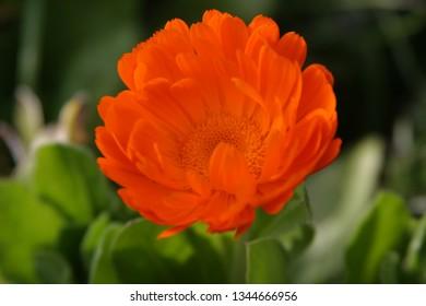 Orange Calendula in the garden