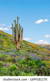 Orange California poppies and purple lupines in flower around lone saguaro cactus. Saguaro cactus surrounded by field of  blooming wildflowers on a desert mountainside. Arizona Spring wildflowers.