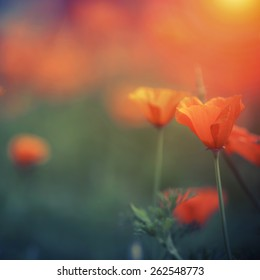 Orange california poppy with space for your design