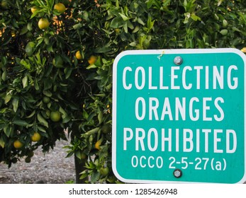 Orange, California USA - January 1, 2019: A sign in front of an orange tree in Santiago Oaks Regional Park states that collecting oranges is prohibited with some irony in Orange County.