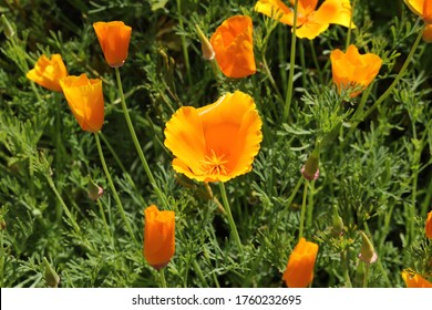"""Orange """"Californian Poppy"""" flower (or Golden Poppy, California Sunlight, Cup of Gold) in St. Gallen, Switzerland. Its Latin name is Eschscholzia Californica, native to California and Oregon in USA."""