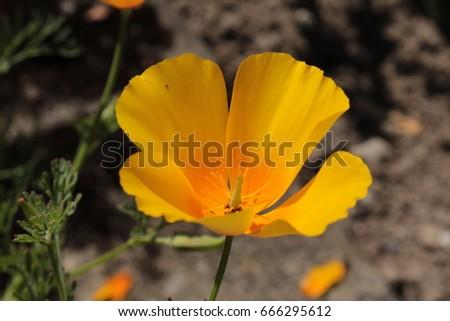 Orange californian poppy flower or golden stock photo edit now orange californian poppy flower or golden poppy california sunlight cup of mightylinksfo