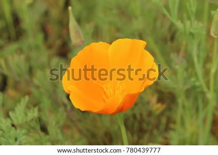 Orange Californian Poppy Flower Or Golden Stock Photo Edit Now
