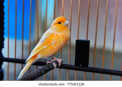 Orange canaries that sound beautiful in the cage