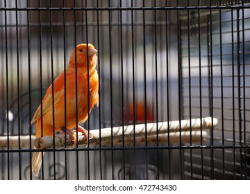 Orange canary in cage