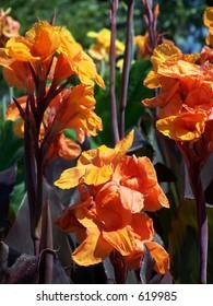 orange canna lillies