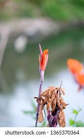 Orange canna Lily , Cannas , Canna indica, Indian shot, Butsarana.