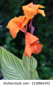 Orange cannas,canna commonly known as Indian shot,African arrowroot,is the only genus in the family Cannaceae . Full blooming flowers isolated on blur backgrounds.