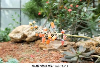 Orange cannonball tree. Beautiful cactus.