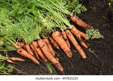 orange carrots, carrots are stacked in the garden