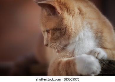 orange cat close