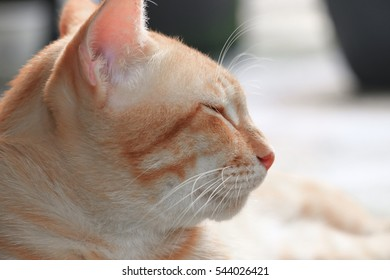 Orange cat Close up, beautiful and lovely