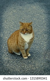 Orange Cat. Isolated . Beautiful orange Feline cat sitting in the middle of the road. Stock Image.
