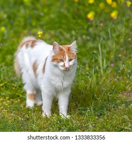 Orange Cat . Long haired domesticated cat  standing in a green field . Stock Image