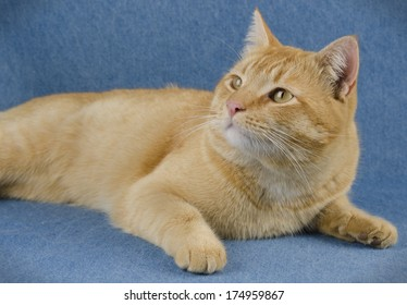 Orange cat looking up on a blue background