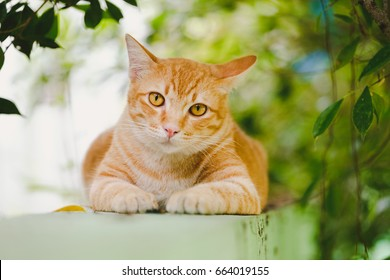 Orange cat lying on the wall of the house Funny gesture