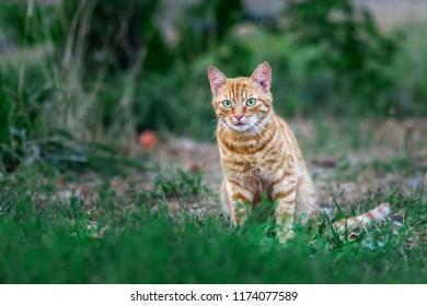 Orange cat on grass - Shutterstock ID 1174077589