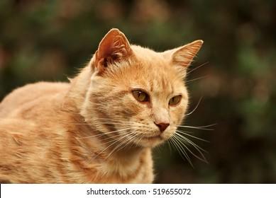Orange cat portrait