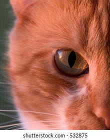 Orange Cat, portrait of right half of its face