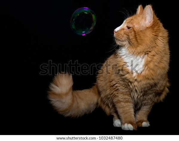 orange-cat-single-soap-bubble-600w-10324