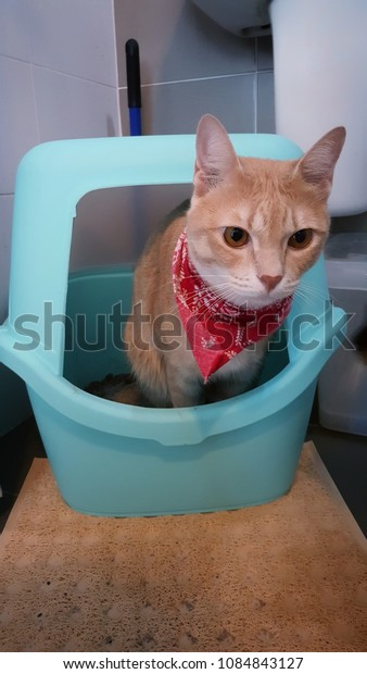 A orange cat wearing fabric collar using litter box in the toilet.