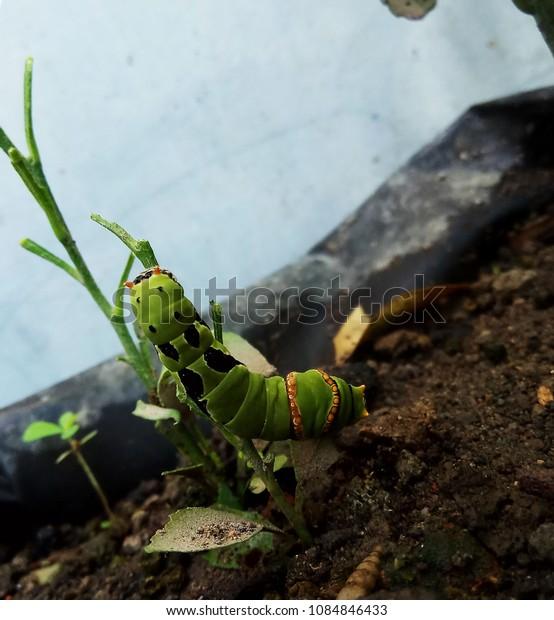 An Orange Caterpillar with Green Skin