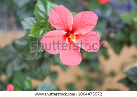 Orange Chaba Flower Thailand Shoe Flower Stock Photo Edit Now