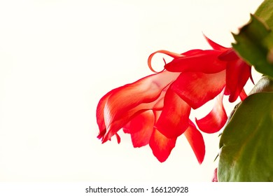 Orange Christmas Cactus in bloom against a white background