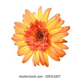 Orange chrysanthemum. Deep focus. No dust. No pollen. Please watch more flower heads in my portfolio.