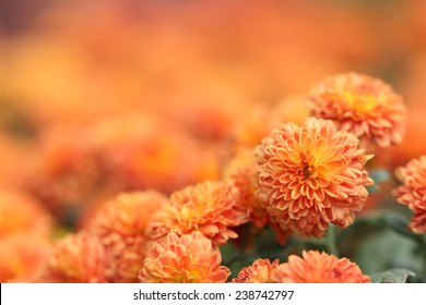 Orange Chrysanthemum Flower in Garden