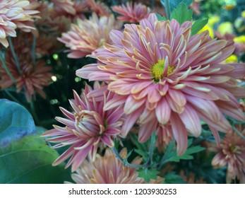 Orange chrysanthemum flowers in the garden