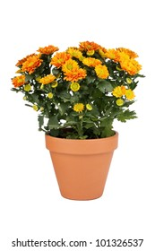 Orange Chrysanthemum pot plant in clay pot
