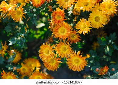 Orange chrysanthemums blooming in autumn in the garden
