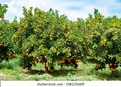 Orange citrus fruit plantations with rows of orange trees on Peloponnese, Greece, new harvest of sweet juicy oranges