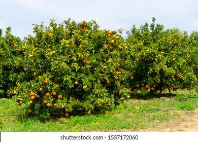 Orange citrus fruit plantations with rows of orange trees on Peloponnese, Greece, new harvest of sweet juicy oranges