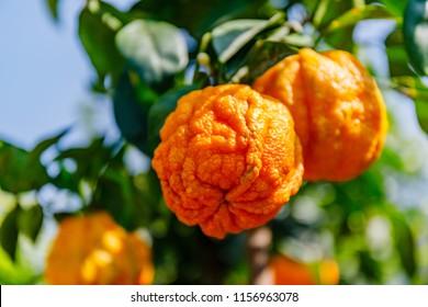 Orange citrus fruits grow on a small citrus tree. Citrus aurantium Corrugato or bitter orange or bitter mandarin on dwarf  tree.