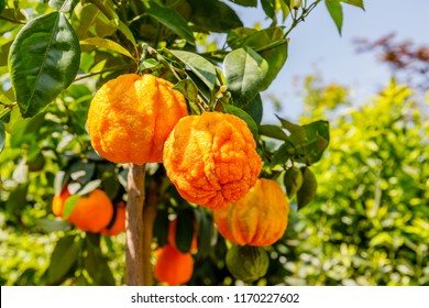 Orange citrus fruits grow on small citrus tree. Citrus aurantium Corrugato or bitter orange or bitter mandarin on dwarf  tree.