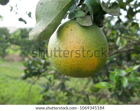 Orange citrus infected with HLB yellow dragon citrus greening is one of the most devastating diseases of citrus