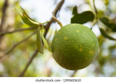 Orange citrus infected with leprosis