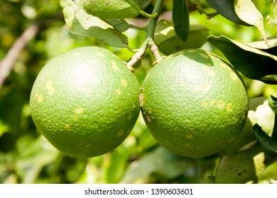 Orange citrus infected with leprosis emerging disease concept