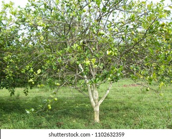 Orange citrus trees orchard heavily  infected with huanglongbing yellow dragon citrus greening plague deadly disease