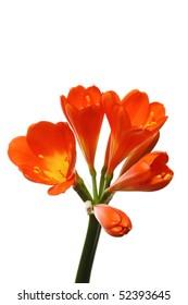 orange cliva miniata