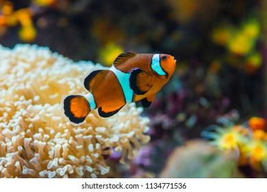 Orange clown fish with anemone in salt water marine aquarium